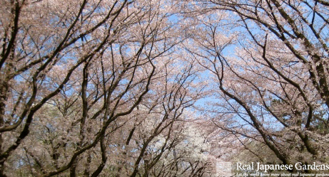 Top Cherry Blossoms (Sakura) in Japanese Gardens