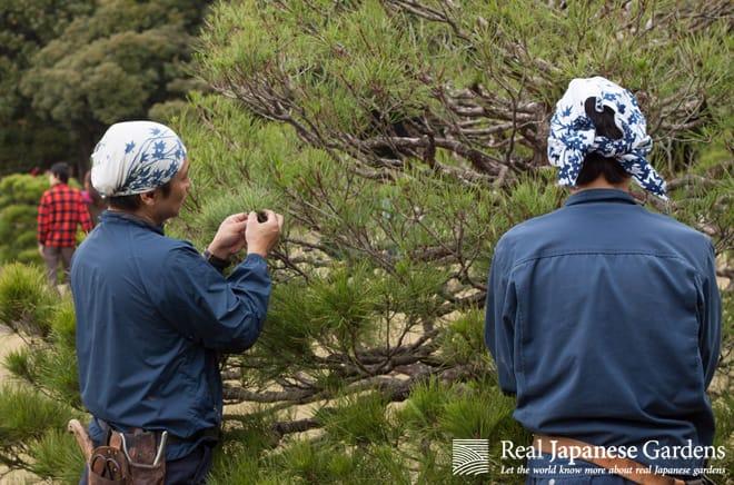 Midoritsumi and Momiage – Pruning Pines