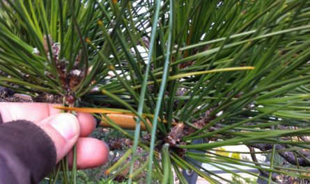 Momiage - Pine pruning in winter