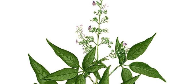 Plant portrait: Vitex negundo