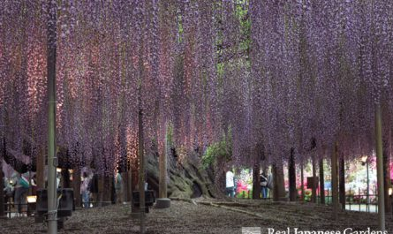 Ashikaga Flower Park Wisteria Floribunda