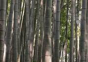 Bamboo in the Japanese garden