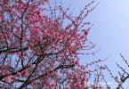 Plants in the Japanese garden Ume plum