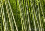 Plants in the Japanese garden Bamboo